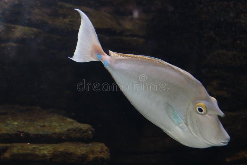 Beschmutztes Unicornfish lizenzfreie stockfotos