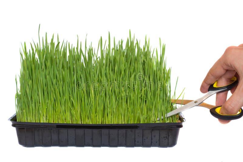 Beschneidung des Weizens keimte in einem Behälter mit Scheren lizenzfreies stockbild