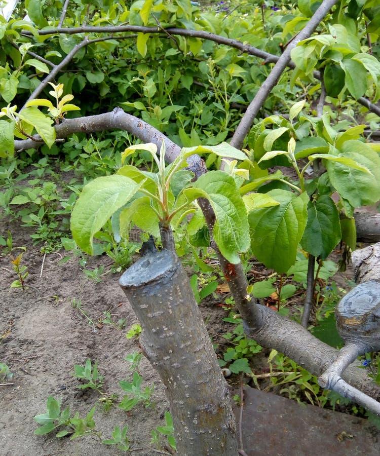 Beschneidung ein ausgetrockneter Winterbaum eines Apfelbaums in ein gesundes, vibrierendes Trieb Beschneidung beeinflußte Bäume g lizenzfreie stockfotos