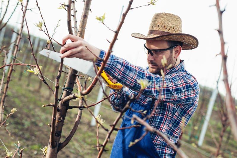 Beschneidungsbaum im Birnenobstgarten, Landwirt, der Handsawwerkzeug verwendet stockbilder