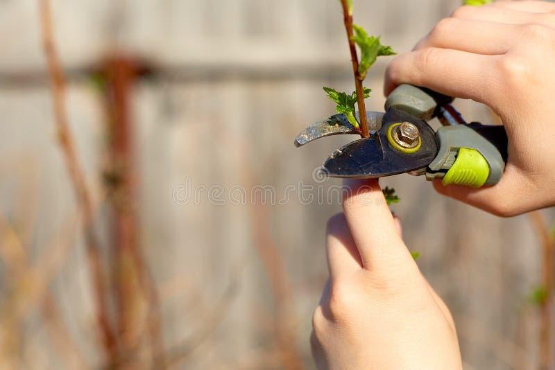 BeschneidungsObstbäume mit Gartenbaumschere arbeiten im Frühjahr im Garten stockfotografie