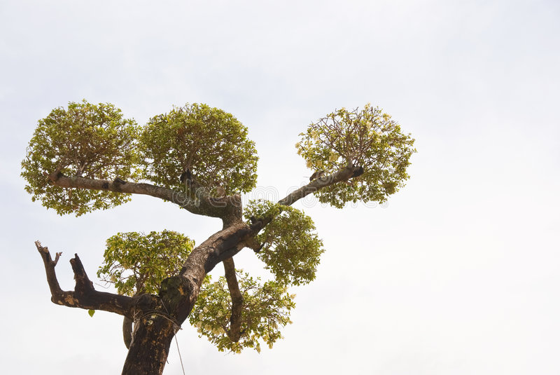 Beschnittener Baum in der Bonsaisart lizenzfreies stockfoto