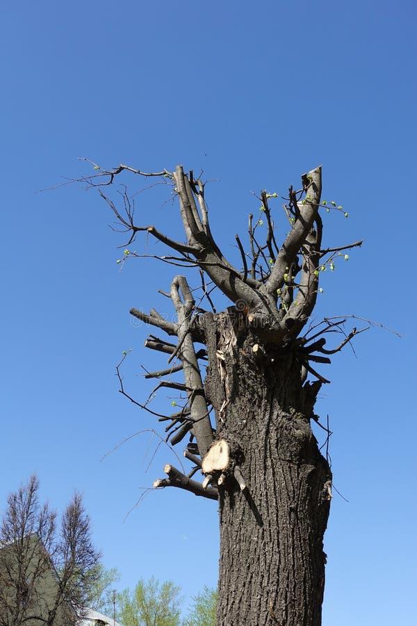 Beschnittener sonniger Tag des Baums im Fr?hjahr gegen blauen Himmel stockfotos