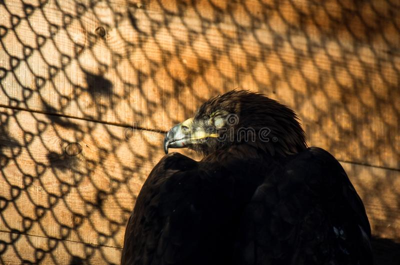 Beschränkung des Freiheitskonzeptes: Goldene Eagle Aquila-chrysaetos in der Gefangenschaft stockfotografie