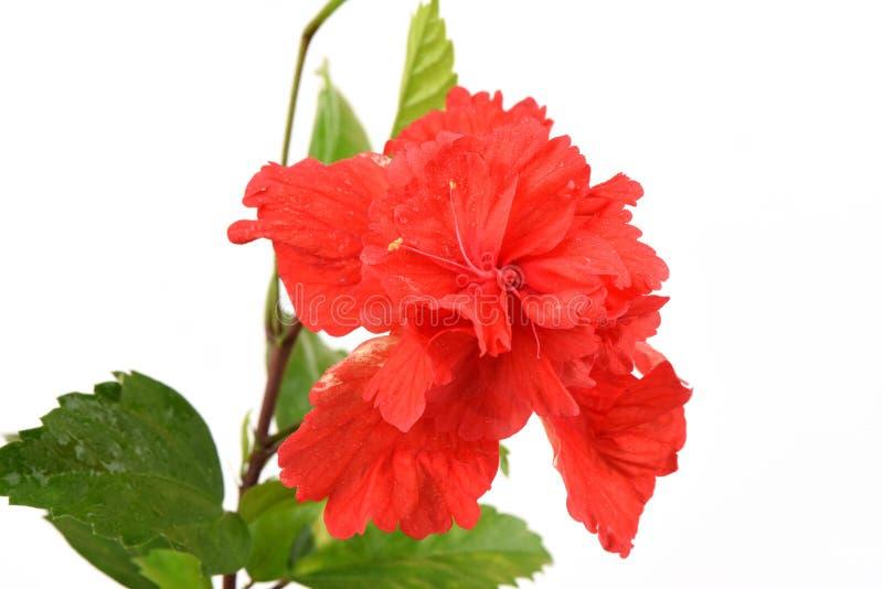 Beschuhen Sie Blume, Hibiscus, Chinesen Stieg Auf Weißen Hintergrund ...