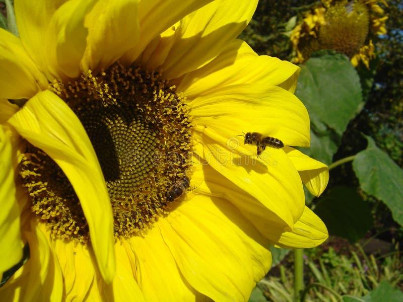 Besetzte Bienen stockfoto