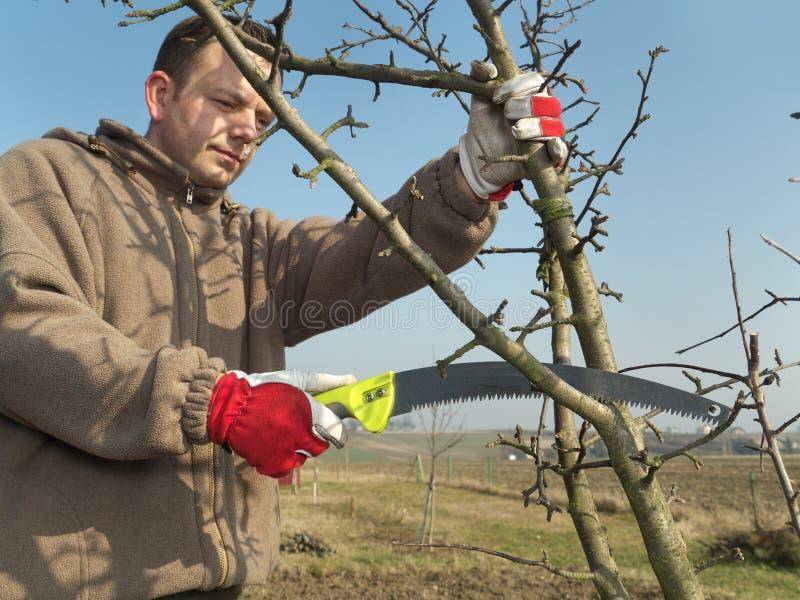 Beskära för fruktträd royaltyfri bild