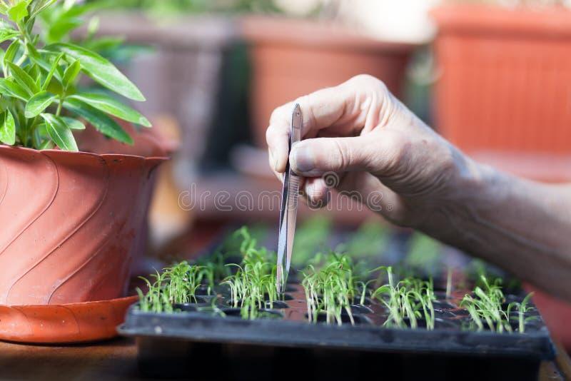 beskära plantan i plantamagasin arkivbilder