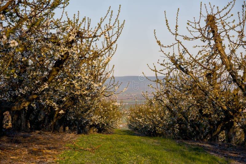 Beskåda ner raderna av en Idaho fruktfruktträdgård i vårtid arkivfoton