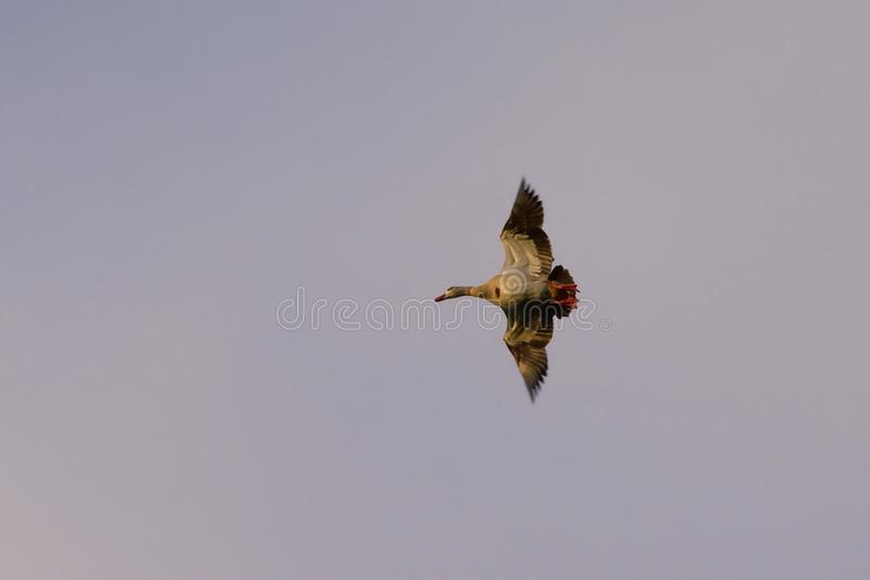 Beskåda underifrån - Anatida, flyga anden med öppna vingar för sneda bollen royaltyfri foto