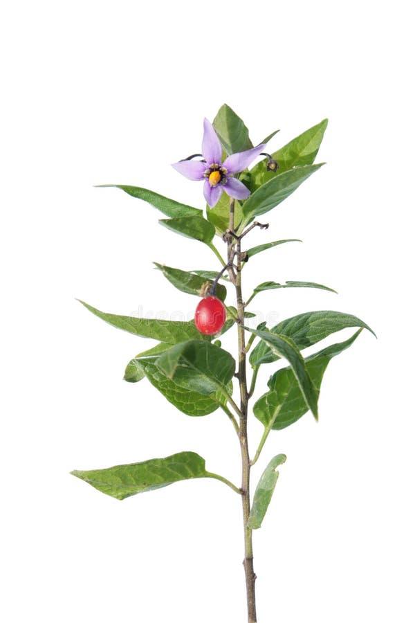 Besksöta (Solanumdulcamara) som isoleras på vit arkivbilder
