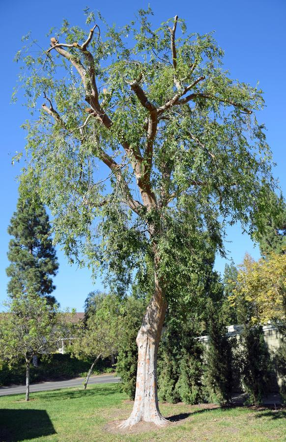 Beskuren Ulmusparvifolia för kinesisk alm i Laguna trän, Kalifornien royaltyfria bilder