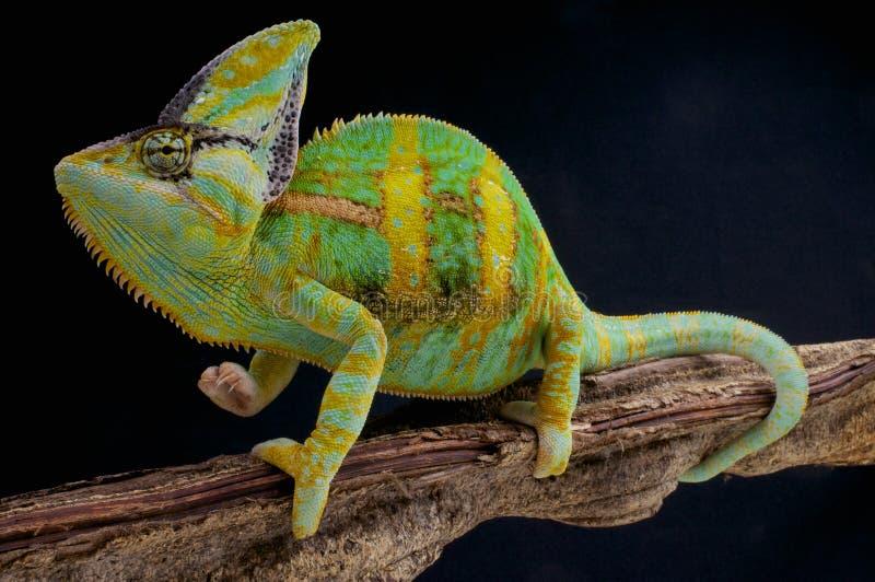 Beslöjad kameleont/Chamaeleocalyptratus royaltyfri bild