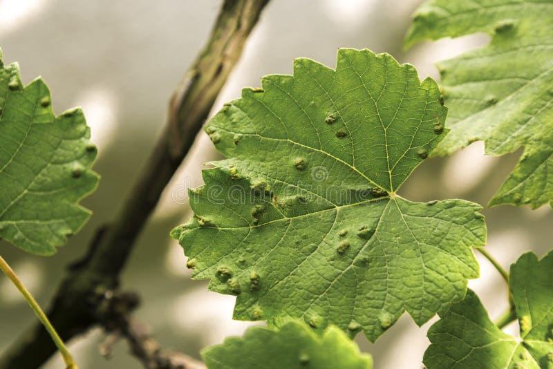 Besmette druivenbladeren met eriophyesvitis royalty-vrije stock fotografie