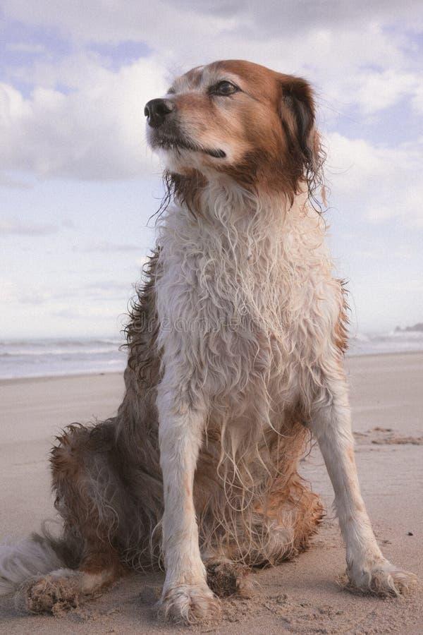 Besmeurde rode en witte krullende haired collietype hond bij een strand royalty-vrije stock fotografie