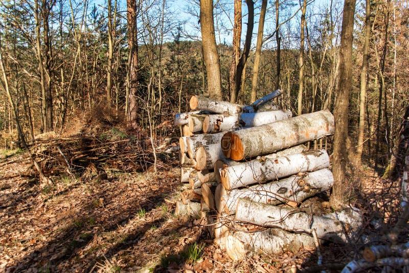 Besnoeiing op berk op een stapel in het boswerk in bos die bomen Felling brandhout De lenteavond in het bos stock afbeeldingen