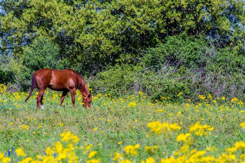 Besnoeiingsblad Groundsel (Packera-tampicana) Helder Geel Texas Wildf royalty-vrije stock foto's