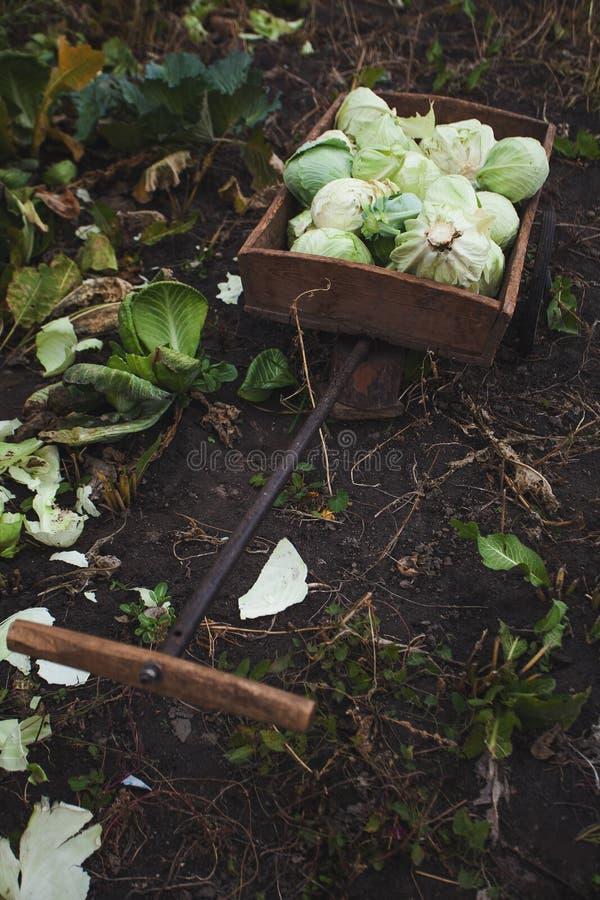 Besnoeiingshoofden van organische kool in een kar van de tuinhand, verticaal De natuurlijke landbouw stock afbeelding