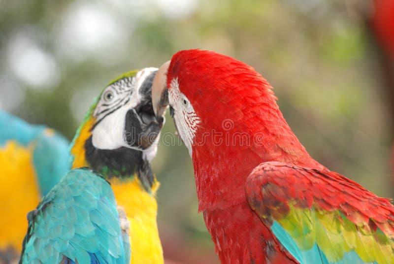 Beso del pájaro del Macaw imagenes de archivo