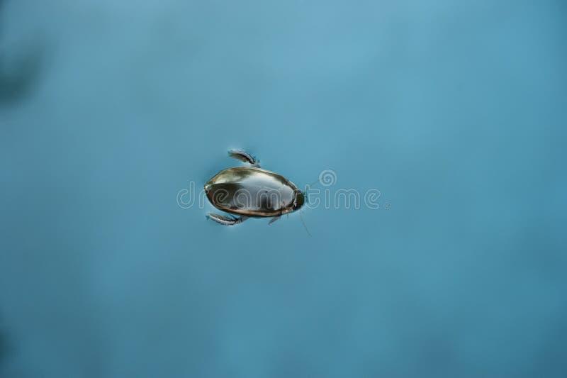 Besouro aquático imagem de stock royalty free