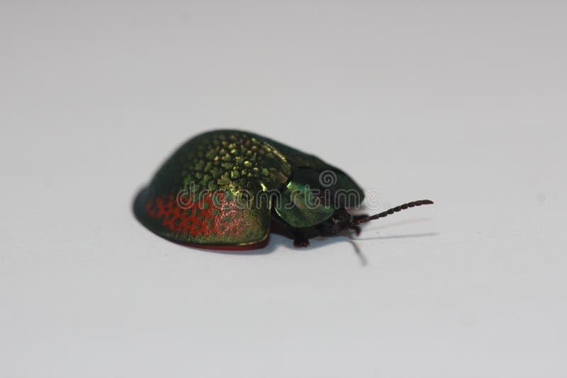 Besouro da concha de tartaruga imagens de stock