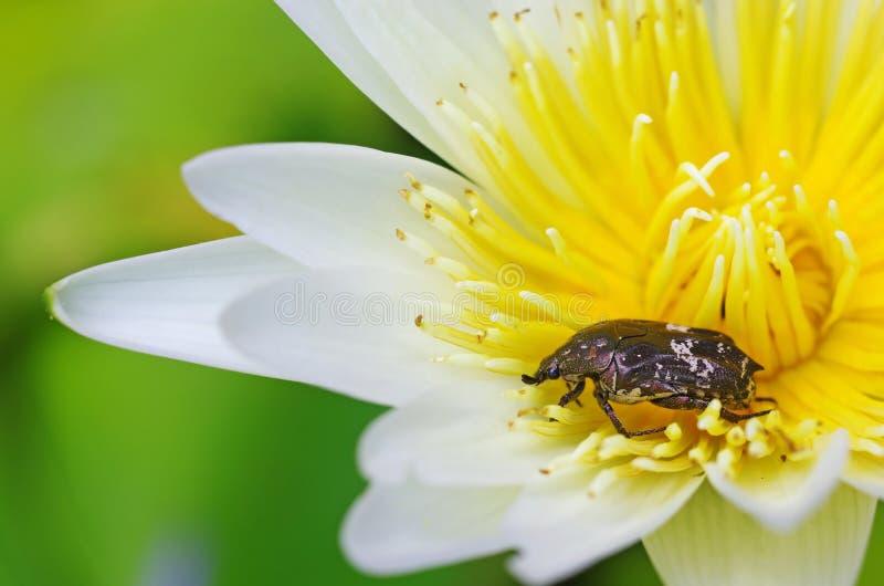 Besouro da flor na flor de lótus imagens de stock royalty free
