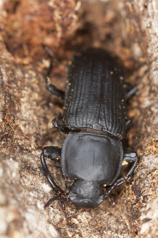 Besouro da larva de farinha (opacus de Tenebrio) imagem de stock