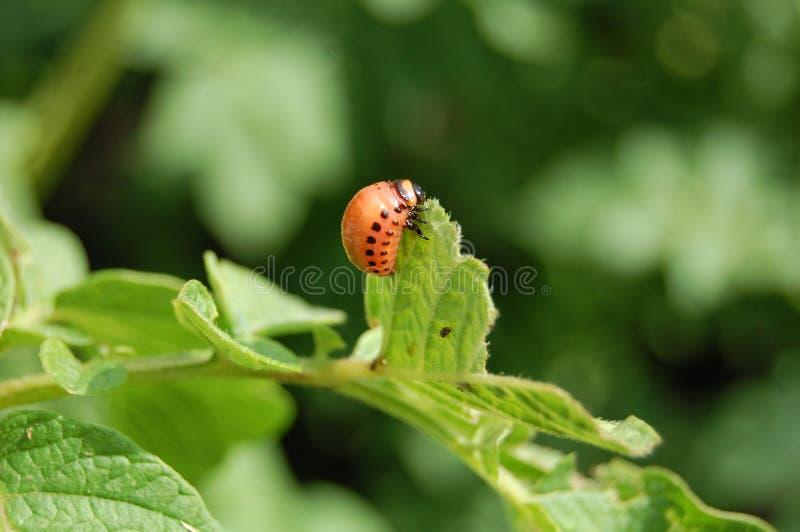 Besouro de Colorado da larva foto de stock
