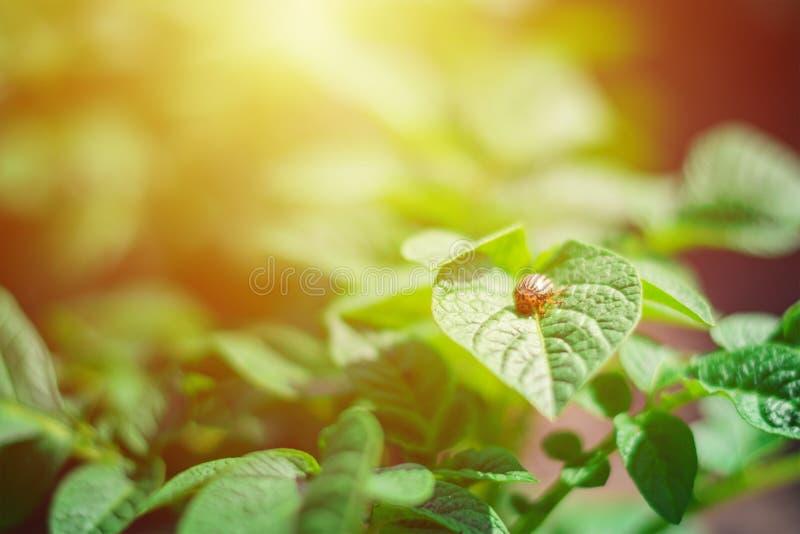 Besouro de Colorado na folha do arbusto da batata fotografia de stock royalty free