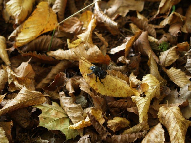 Besouro de estrume da floresta fotografia de stock royalty free