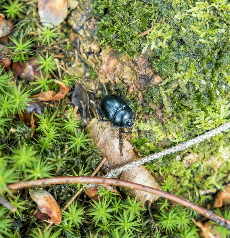 Besouro de estrume da floresta foto de stock royalty free