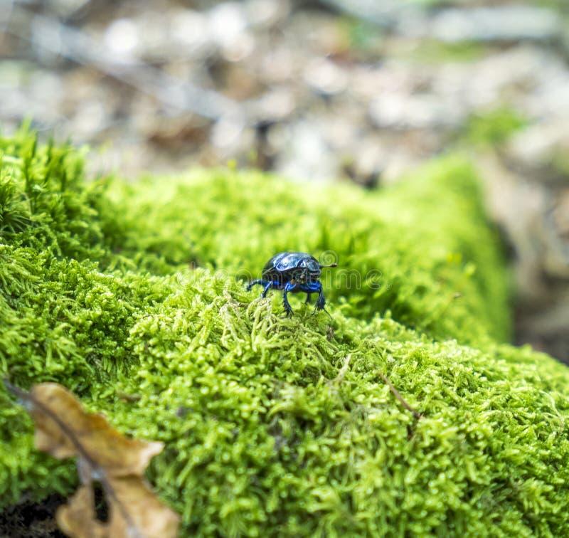 Besouro de estrume da floresta fotos de stock