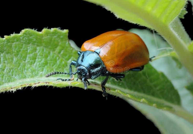 Download Besouro De Folha Do Poplar (populi De Chrysomela) Imagem de Stock - Imagem de animais, inseto: 12803063