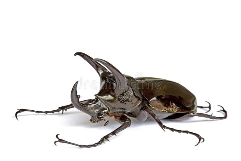 Besouro de Rhinocerous foto de stock royalty free