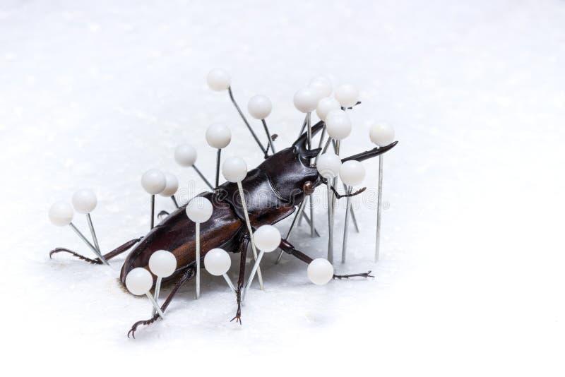 Besouro de veado secado, besouro seco da preservação fotos de stock royalty free