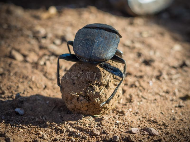 Besouro do escaravelho do estrume ou sacer africano do Scarabaeus que rola o seu bola do estrume, parque nacional de Chobe, Botsw fotos de stock