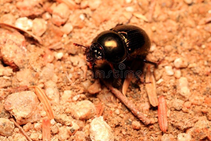 Besouro do escaravelho na terra imagens de stock