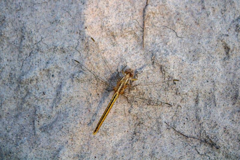 Besouro do helicóptero do close-up fotografia de stock royalty free