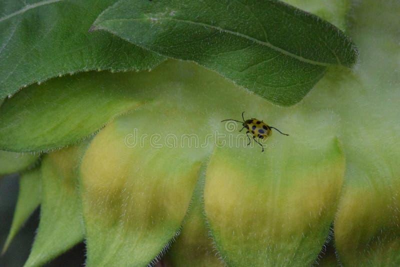Besouro do pepino no girassol 02 imagem de stock royalty free