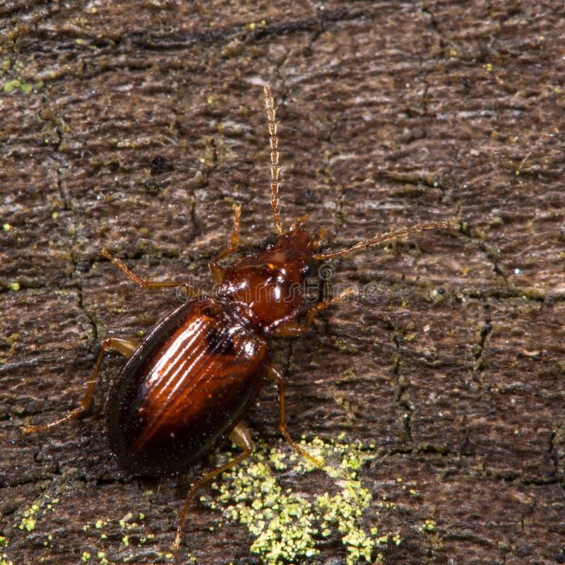Download Besouro Dos Harpaloides De Ocys Foto de Stock - Imagem de erro, longo: 65576530