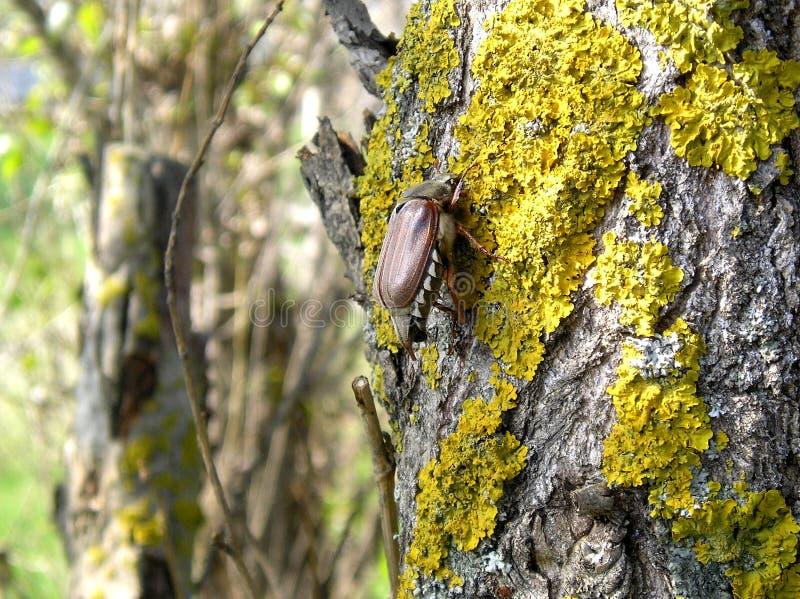 Besouro europeu que senta-se em uma árvore imagens de stock royalty free