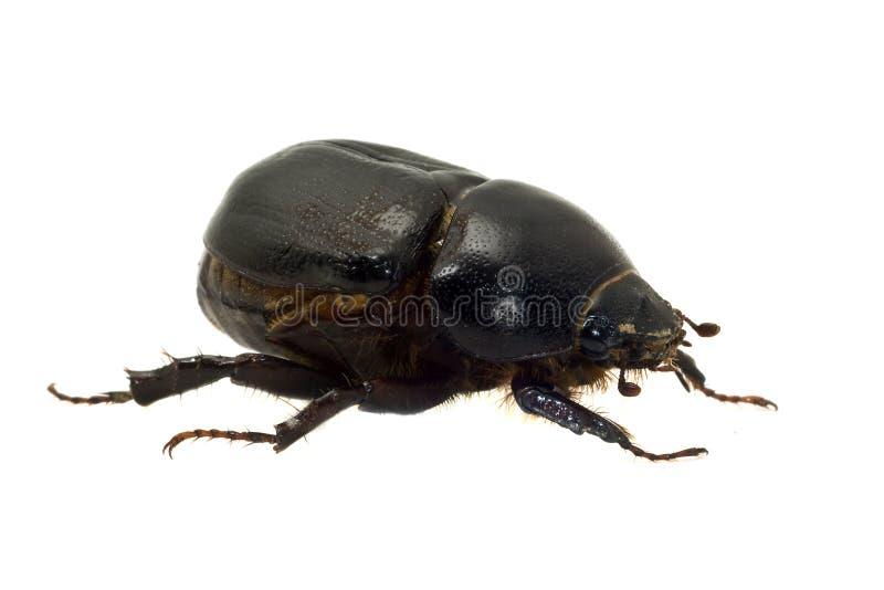 besouro isolado no branco imagens de stock