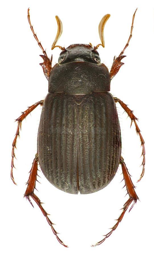 Besouro Maladera do escaravelho no fundo branco imagem de stock
