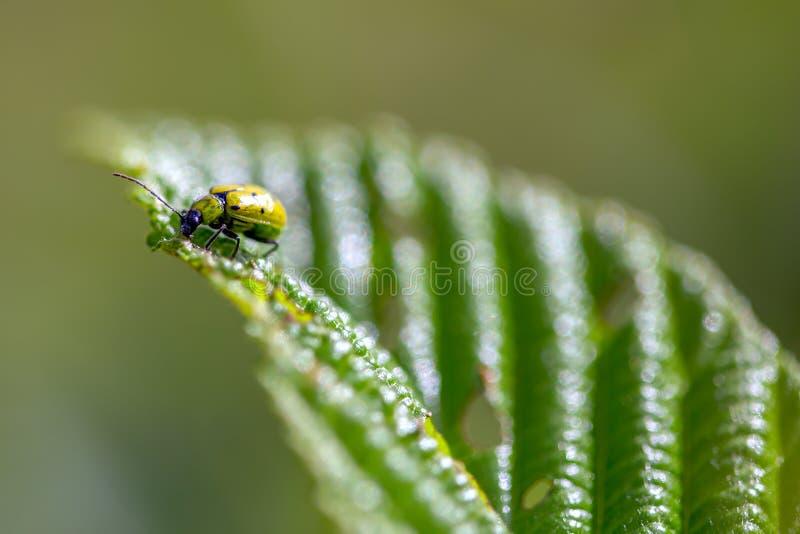 Besouro manchado do pepino que alimenta em uma folha do amieiro foto de stock