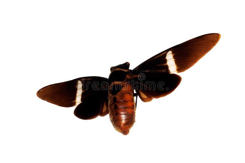 Besouro marrom grande, isolado em um fundo branco, cicadidae imagem de stock royalty free