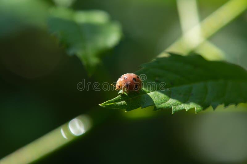 Besouro na folha no jardim imagens de stock