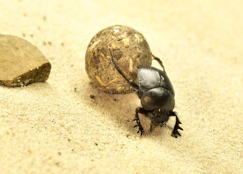 Besouro ou scarabaeus do escaravelho imagens de stock royalty free