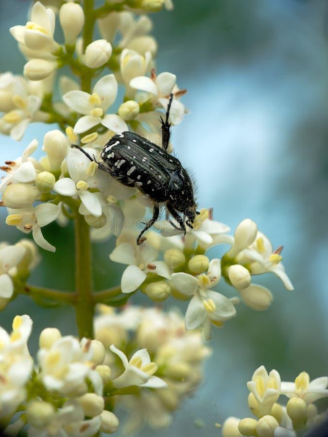 Besouro Spangled da flor, sepulcralis da euforia fotografia de stock