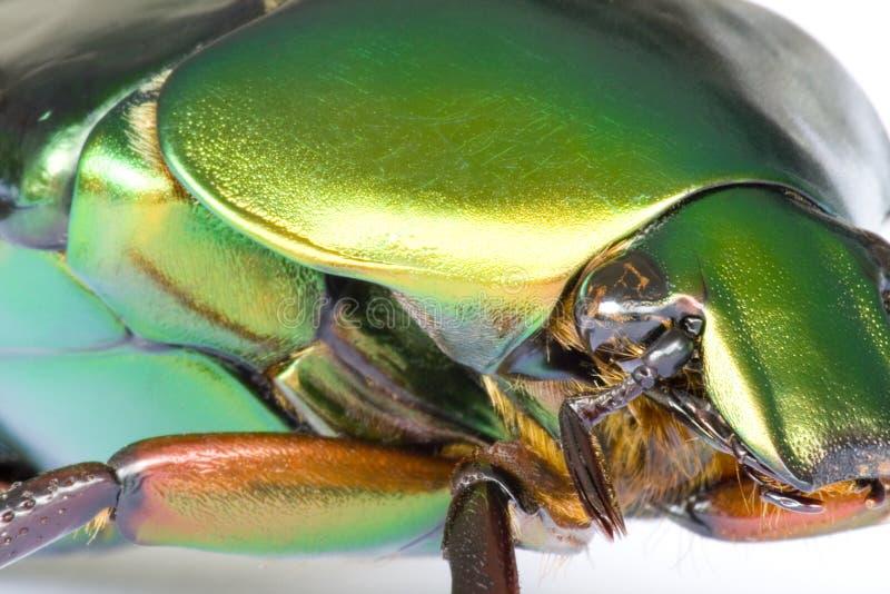 Besouro tropical da floresta húmida fotografia de stock
