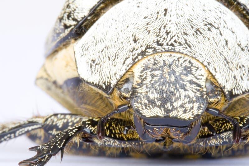 Besouro tropical da floresta húmida fotografia de stock royalty free